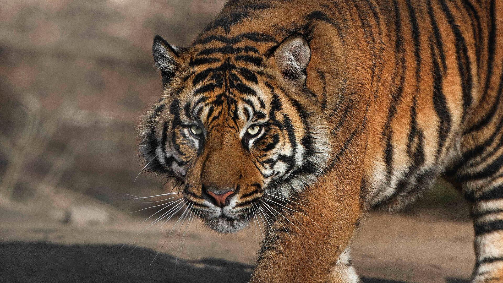 tiger | san diego zoo animals & plants
