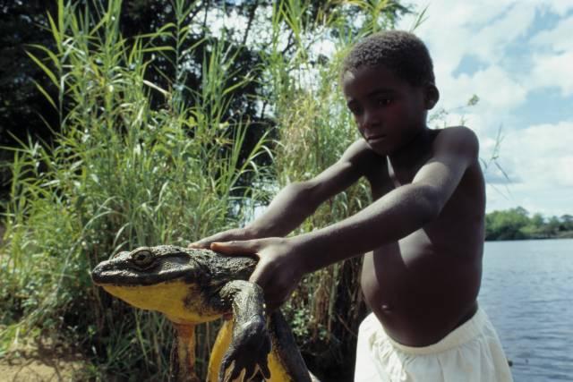 Image result for goliath frog scientific name
