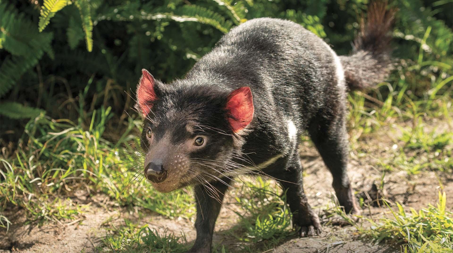 Funny Tasmanian Devil Pictures