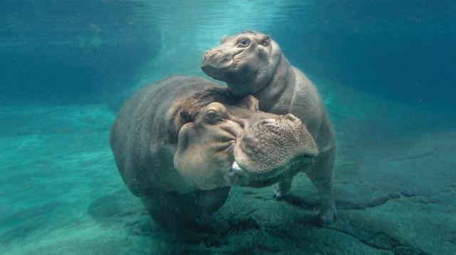 Hippos live under water