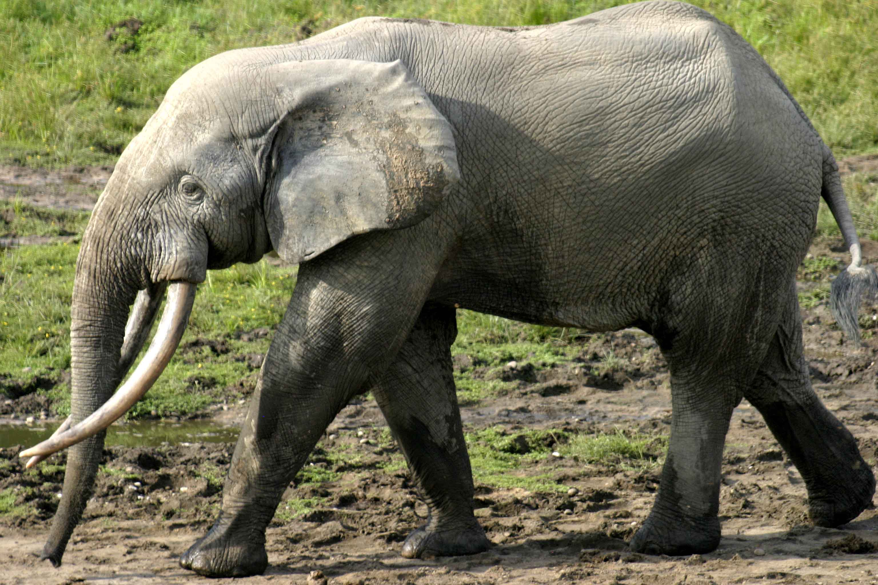 The asian elephant is classified as an endangered species. African Forest Elephant Anatomy And Look Steemkr