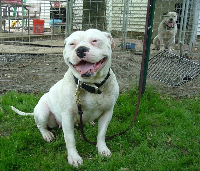 american bulldog - puppies, breeders, pictures, facts, diet, habitat