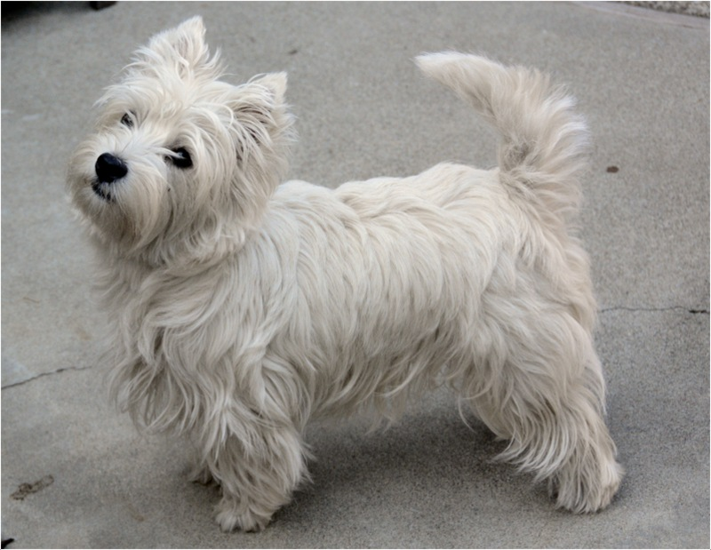 Image Result For West Highland Terriers Hypoallergenic