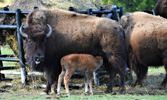Mother with Baby Bison