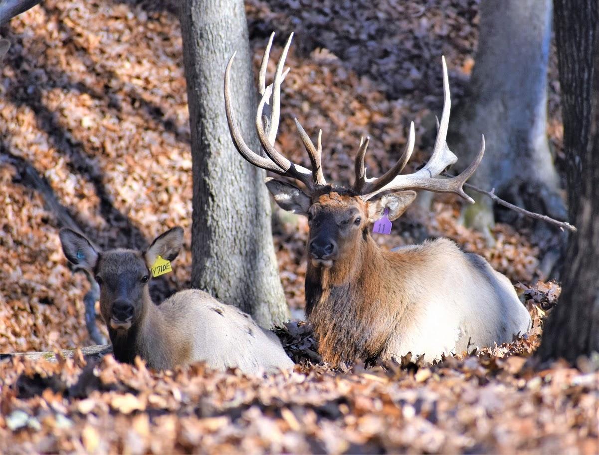 Couple Deer