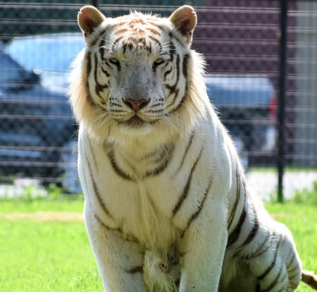 Draco, White Tiger