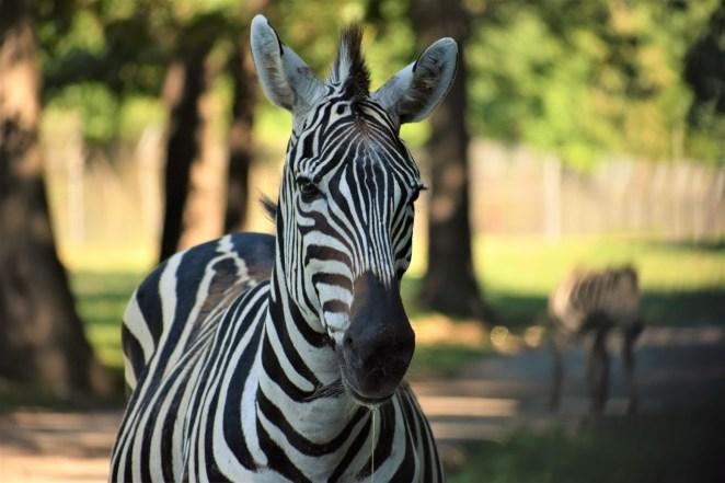 Grants, Zebra