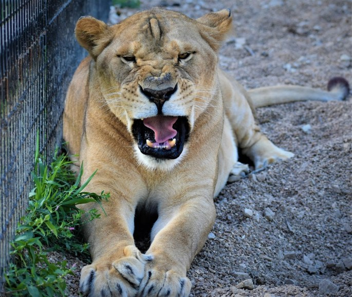 Jasmine, Lion