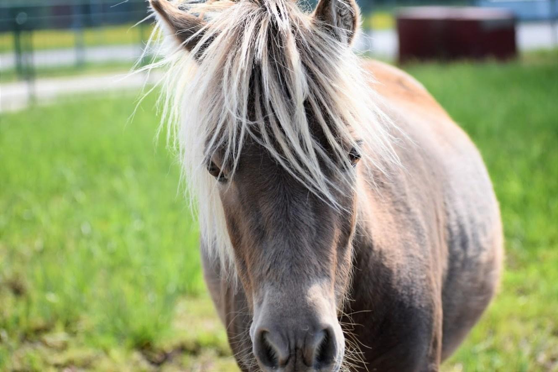 Pip, Mini Horse