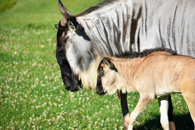 Wildebeest Mother and Baby