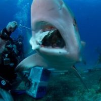 How often do Great White Sharks Eat? - Great White Shark Eating Habits