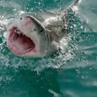 What do Great White Sharks Eat? - Great White Shark Diet & Eating Habits