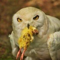 What Do Snowy Owls Eat? - Snowy Owl Diet Information