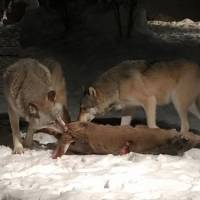 What Do Gray Wolves Eat?