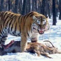 What Do Siberian Tigers Eat? - Siberian Tiger Diet