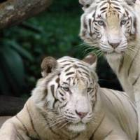 How Long Do White Tigers Live? - White Tiger Lifespan