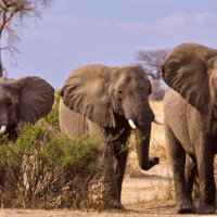 What Do African Elephants Eat? - Complete Guide to African Elephant Diet