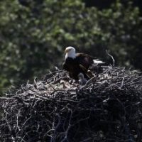What Eats Bald Eagles? Bald Eagle Predators