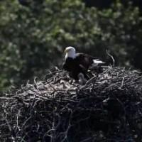 What Eats Bald Eagles? Bald Eagle Predators