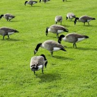 What do Canadian Geese Eat? - Canada Goose Diet