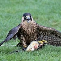 How Do Peregrine Falcons Catch Their Prey?