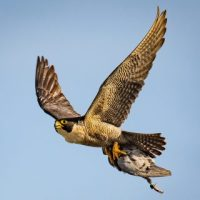 What Do Peregrine Falcons Eat? - Peregrine Falcon Diet