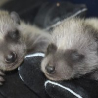 When Do Raccoons Have Babies? How Many Babies Do They Have?