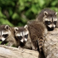 Where Do Raccoons Live? Raccoon Range and Raccoon Habitat
