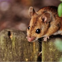 Can Mice Climb Stairs and Walls? Can Mice Jump?