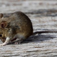 Are Mice Dangerous? Do They Carry Diseases?