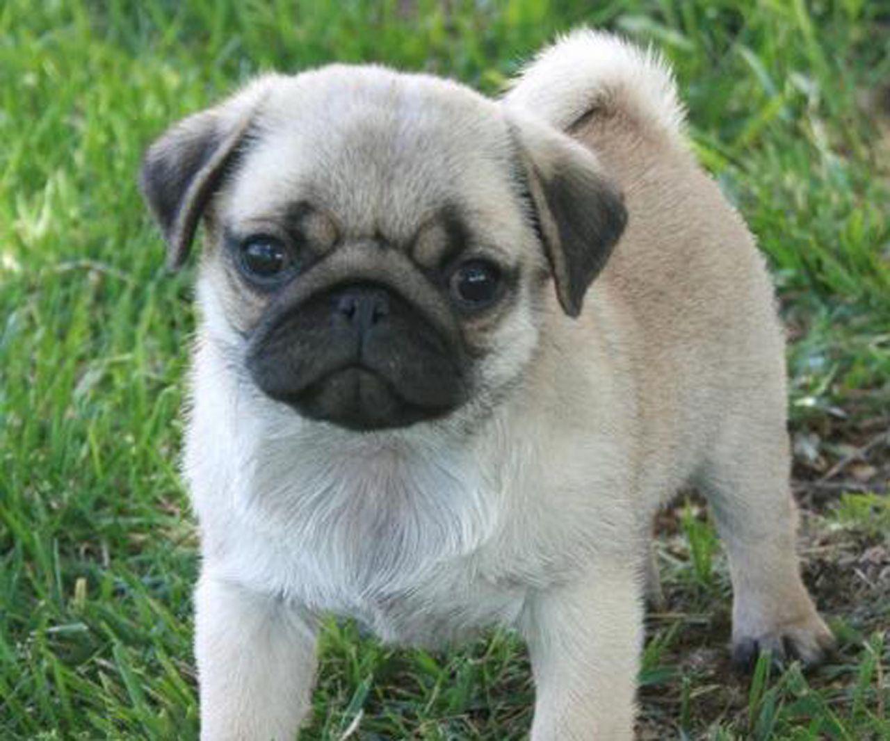 Baby Sale Teacup Pugs