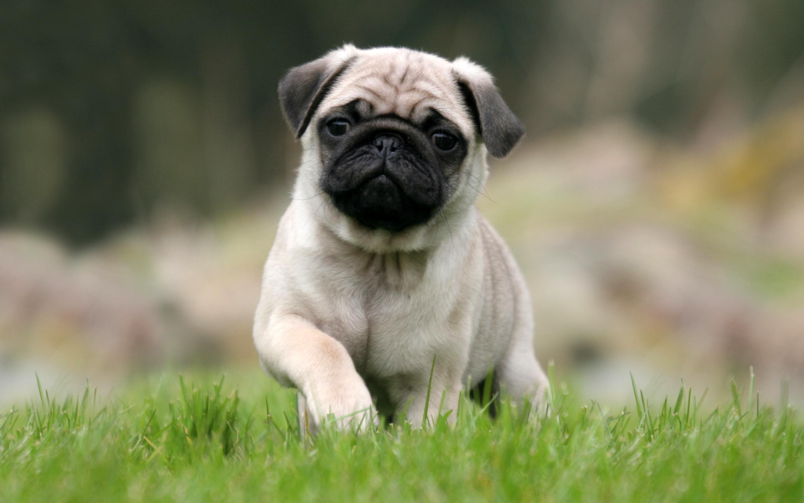Pug - Small Dog Breeds