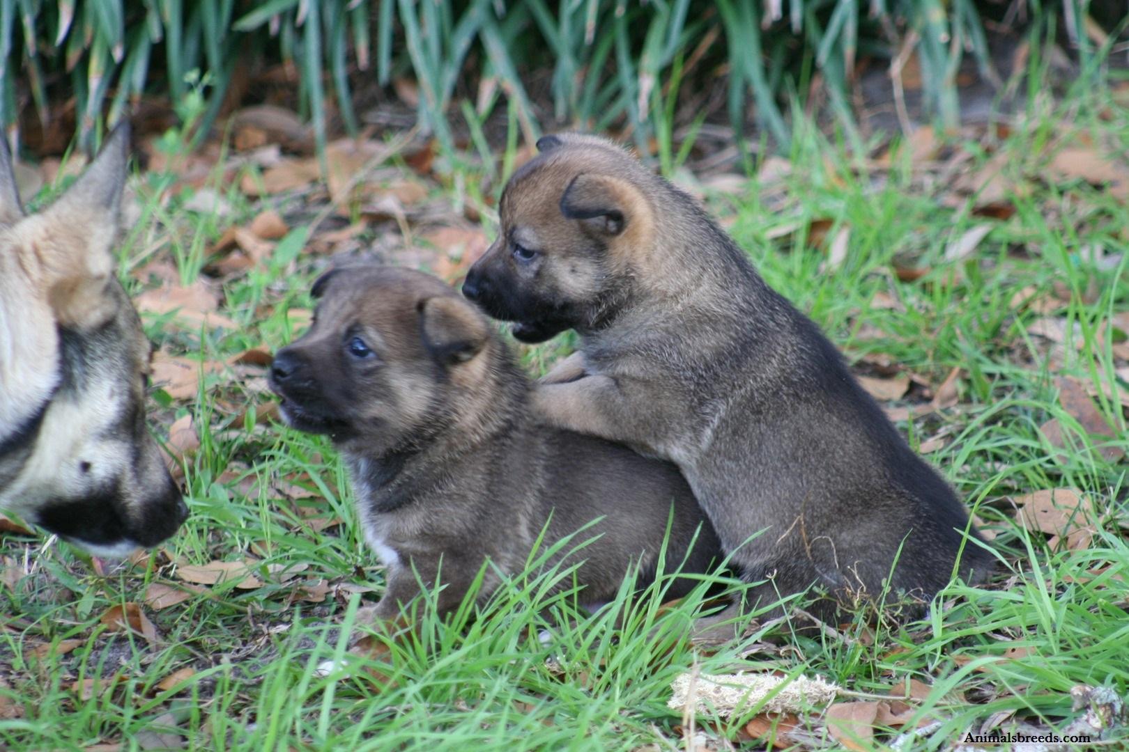 Swedish Vallhund Puppies Rescue Pictures Information