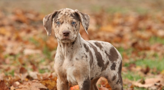 https://i1.wp.com/animalsbreeds.com/wp-content/uploads/2015/01/Catahoula-Leopard-Dog-14.jpg