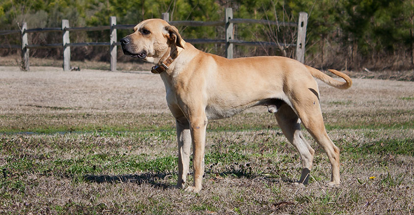 Top 10 Cheapest Dog Breeds: Blackmouth Cur