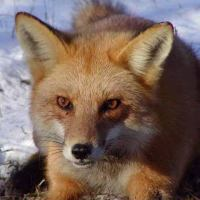 Red Fox Facts For Kids | Red Fox Habitat & Diet