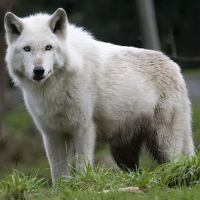 Wolf Facts For Kids | Interesting Facts About Wolves For Kids