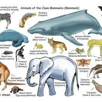 Facts About Mammals| Characteristics of Mammals | Classification of Mammals