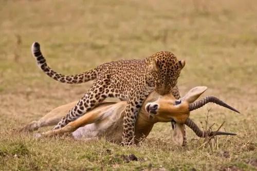 immagine di un leopardo con la preda tra le fauci