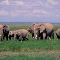 African Elephant Facts For Kids | African Elephant Diet & Habitat