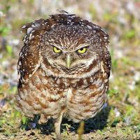 Burrowing Owl Facts | Burrowing Owl Diet & Habitat