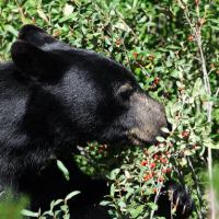 What Do Black Bears Eat | What Do Black Bears Like To Eat