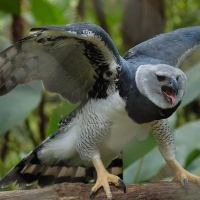Harpy Eagle Facts | Top 10 Facts about American Harpy Eagles