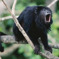 Howler Monkey Facts | List of 10 Amazing Facts about Howler Monkeys
