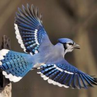 Blue Jay Facts | Blue Jay Behavior, Migration, Diet & Habitat
