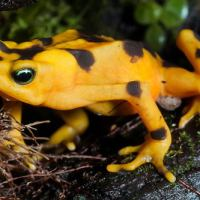 Golden Toad Facts For Kids | Unknown Facts About Golden Toads