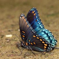 Peacock Butterfly Facts | Anatomy, Diet, Habitat, Behavior