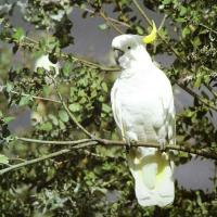 Sulphur Crested Cockatoo Facts | Anatomy, Diet, Habitat, Behavior