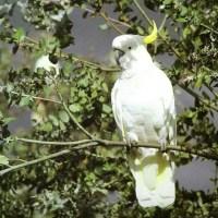 Sulphur Crested Cockatoo Facts | Anatomy, Diet, Habitat, Behavior