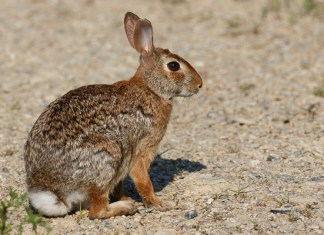 Cottontail rabbit habitat - photo#31